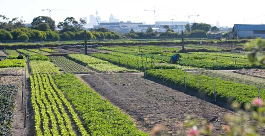 One of three remnant urban market gardens in Rockdale local government area. Another exists at La Perouse, in the Randwick local government area. The Rockdale farms, managed by Asian farmers, are all that remains of what was once a major food bowl of the Sydney region.
