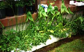 An edible water garden was made in salvaged foam vegetable boxes. These were later replaced by a salvaged fibreglass planter. Growing are water chestnut, water celery, duck potato and arrowhead.