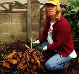 The yacon (Smallanthus sonchifolius) crop was prolific.