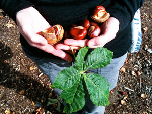 The fruit and leaf of the chestnut.