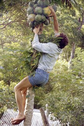 Jeff harvests a pawpaw.