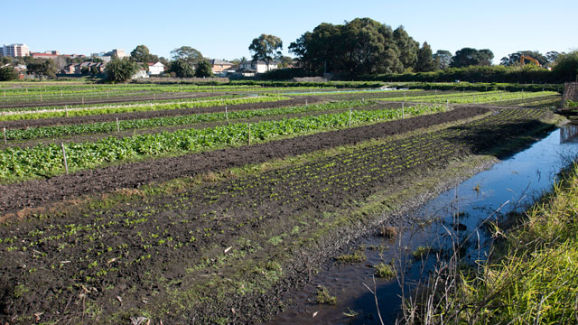 Food production in the city, an increasingly rare sight. Photo: Scarborough Park, Kogarah NSW.