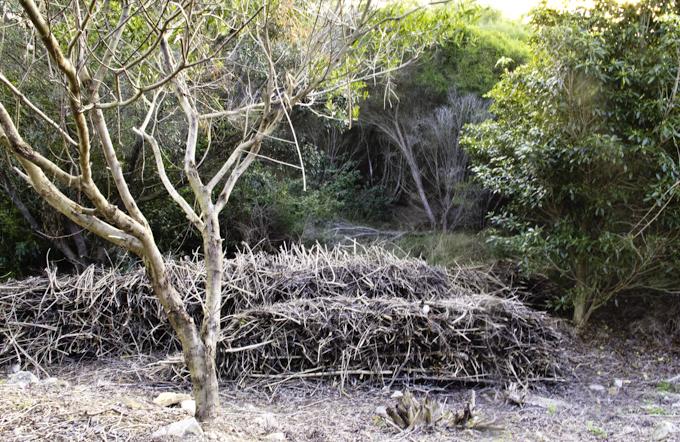 Ecological restoration: A familiar argument from across the Tasman