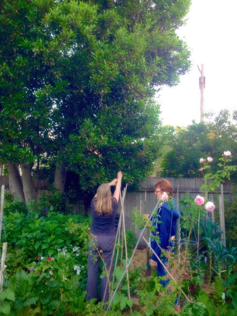 Harvesting bay leaves in Jane's garden